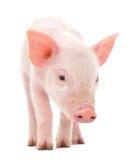 Cerdo en blanco Imagen de archivo