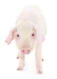 Cerdo en blanco Fotografía de archivo