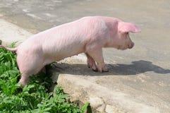 cerdo en el camino Foto de archivo
