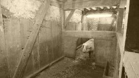 Cerdo en el establo fotografía de archivo