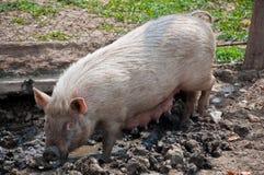 Cerdo en el fango Imágenes de archivo libres de regalías