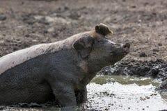 Cerdo en el fango imagenes de archivo