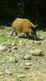 Cerdo en el parque zoológico Foto de archivo