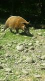 Cerdo en el parque zoológico Fotos de archivo libres de regalías