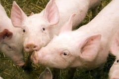 Cerdo en establo Fotografía de archivo libre de regalías