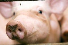 Cerdo en establo Imagenes de archivo