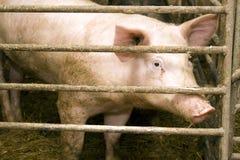 Cerdo en establo Foto de archivo libre de regalías