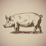 Cerdo en estilo del bosquejo Imagen de archivo libre de regalías