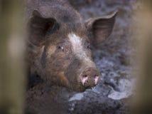 Cerdo en fango Fotos de archivo libres de regalías