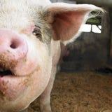 Cerdo en granero Foto de archivo libre de regalías