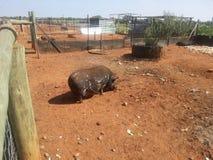 Cerdo en granja Fotografía de archivo libre de regalías