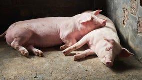 Cerdo en granja foto de archivo libre de regalías