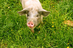 Cerdo en hierba verde Imagenes de archivo