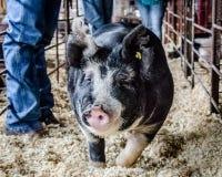 Cerdo en la demostración común Fotos de archivo