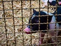 Cerdo en la jaula pequeña foto de archivo
