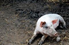 Cerdo en la pluma Imágenes de archivo libres de regalías