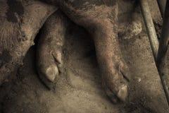 Cerdo en paradas del hierro Fotos de archivo libres de regalías