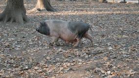 Cerdo en pasto en el bosque almacen de video