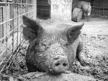 Cerdo en pluma del fango Imagen de archivo libre de regalías