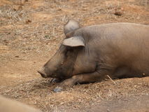 Cerdo en una granja Foto de archivo