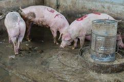 Cerdo en una granja Imagen de archivo libre de regalías