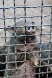 Cerdo en una jaula Imagen de archivo