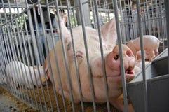 Cerdo en una jaula Exposición Imagenes de archivo