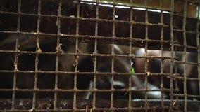 Cerdo en una pocilga, visión desde una malla metálica almacen de metraje de vídeo