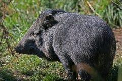 Cerdo enano Fotografía de archivo libre de regalías