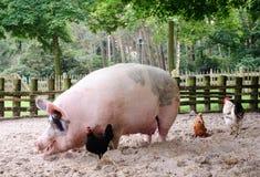 Cerdo enorme Imagenes de archivo