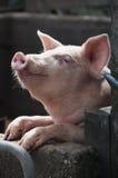 Cerdo feliz Foto de archivo libre de regalías