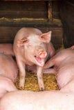Cerdo feliz Imagen de archivo libre de regalías