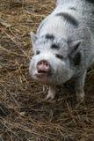 Cerdo feliz Fotos de archivo libres de regalías