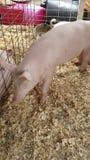 Cerdo feliz Imagenes de archivo
