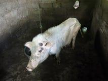 Cerdo fino de mirada triste en pocilga imagenes de archivo