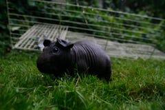 Cerdo flaco negro Foto de archivo libre de regalías