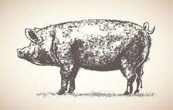 Cerdo gráfico Imagenes de archivo