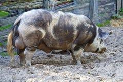 Cerdo grande imagen de archivo