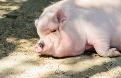 Cerdo grande Fotos de archivo libres de regalías