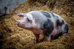 Cerdo grande Imagen de archivo libre de regalías