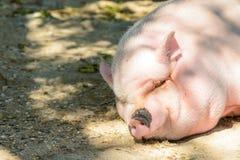 Cerdo grande Fotografía de archivo libre de regalías