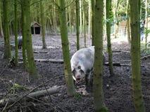 Cerdo grande en el bosque Imágenes de archivo libres de regalías