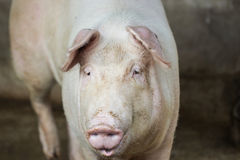 Cerdo grande en granja Imagen de archivo