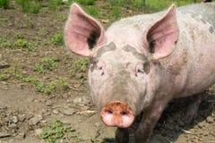 Cerdo grande en la granja Foto de archivo