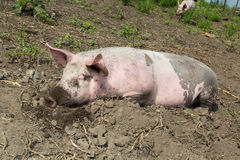 Cerdo grande en la granja Fotografía de archivo