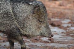 Cerdo hermoso del razorback que mira abajo en la tierra Fotos de archivo libres de regalías