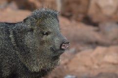 Cerdo hermoso del razorback que mira abajo en la tierra Foto de archivo libre de regalías