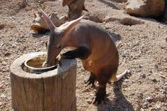 Cerdo hormiguero (afer del Orycteropus) en el parque zoológico Fotografía de archivo libre de regalías