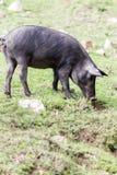 Cerdo ibérico que pasta en un Dehesa Imagenes de archivo