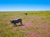 Cerdo iberico利比亚猪肉在Dehesa西班牙 图库摄影